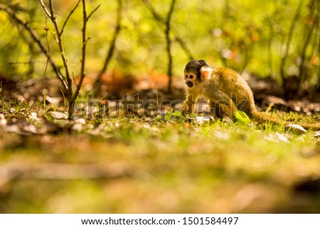Squirrel Monkey searching for food. #1501584497