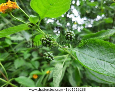 Lantana camara is a species of flowering plant within the verbena family, native to the American tropics. Other common names of L. camara include big-sage, wild-sage, red-sage, white-sage, tickberry,  #1501616288