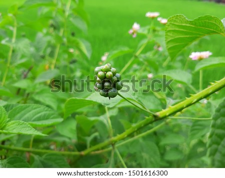 Lantana camara is a species of flowering plant within the verbena family, native to the American tropics. Other common names of L. camara include big-sage, wild-sage, red-sage, white-sage, tickberry,  #1501616300