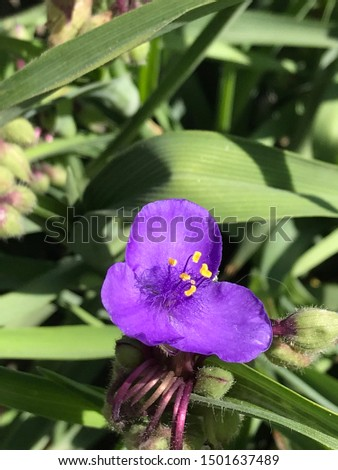 tradescantia, macro photography, macro photo #1501637489