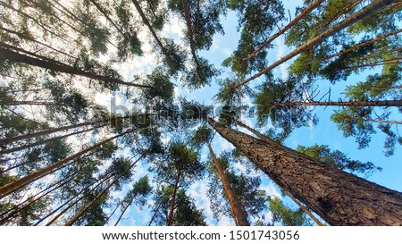 Tree tops against blue sky. Pine forest is a natural resource.  Royalty-Free Stock Photo #1501743056