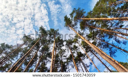 Tree tops against blue sky. Pine forest is a natural resource.  Royalty-Free Stock Photo #1501743059