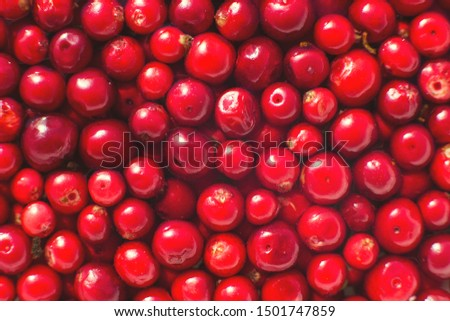many berries of red lingonberry. lingonberry background. lingonberry close #1501747859