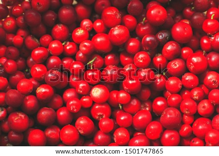many berries of red lingonberry. lingonberry background. lingonberry close #1501747865