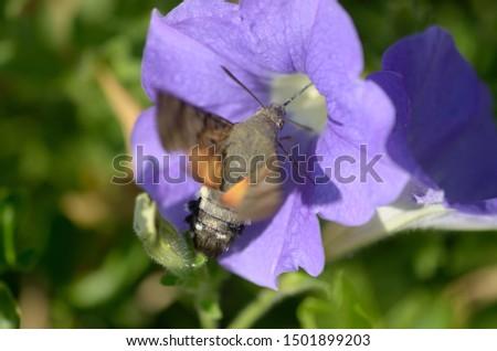 Hummingbird moth feeding on flowers #1501899203