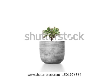 Suculent plant in cement vase pot  isolated on white background vase ornament #1501976864