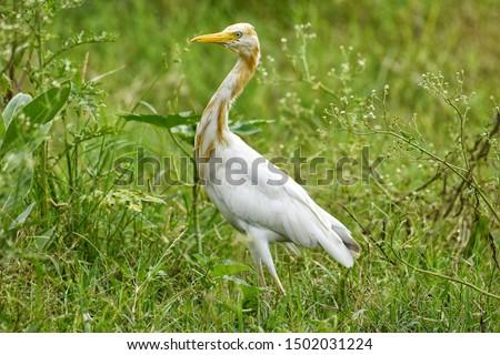 egret cattle egret heron  white egret #1502031224