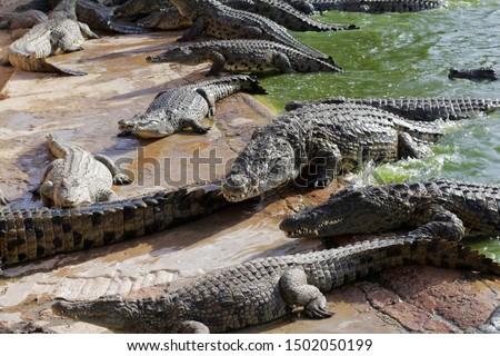 Crocodiles bask in the sun. Crocodiles in the pond. Crocodile farm. Cultivation of crocodiles. Crocodile sharp teeth. Royalty-Free Stock Photo #1502050199