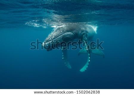 Humpback whale calf, Pacific Ocean, Vava'u, Tonga. #1502062838