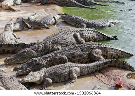 Feeding crocodiles on a crocodile farm. Crocodiles in the pond. Cultivation of crocodiles. Crocodile sharp teeth. The meat flies into the jaws of a crocodile. Crocodile is eating. #1502066864