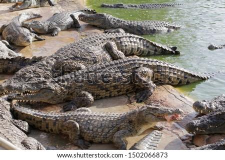 Feeding crocodiles on a crocodile farm. Crocodiles in the pond. Cultivation of crocodiles. Crocodile sharp teeth. The meat flies into the jaws of a crocodile. Crocodile is eating. #1502066873