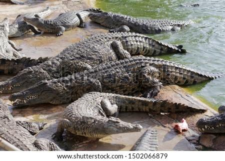Feeding crocodiles on a crocodile farm. Crocodiles in the pond. Cultivation of crocodiles. Crocodile sharp teeth. The meat flies into the jaws of a crocodile. Crocodile is eating. #1502066879