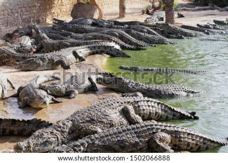 Feeding crocodiles on a crocodile farm. Crocodiles in the pond. Cultivation of crocodiles. Crocodile sharp teeth. The meat flies into the jaws of a crocodile. Crocodile is eating. #1502066888