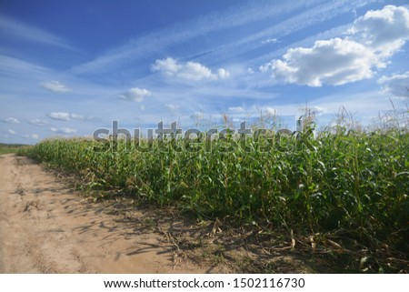 Beautiful landscape of corn field full of harvest and shadows on the dry soil road above the sunny clear blue sky with some clouds. Summer happy day photo view  #1502116730