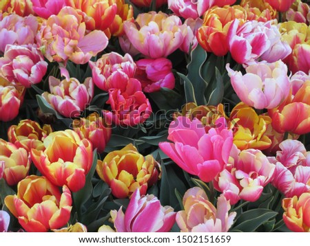 Beautiful brightly coloured pink and orange tulips, Netherlands #1502151659