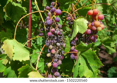 rotten crop of grapes in the vineyard #1502220560