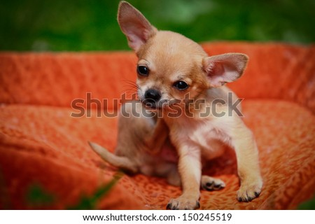 Chihuahua dog on the nature of puppies #150245519