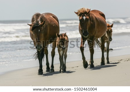 2 Outer Banks wild mustang mares and their little foals walk the bright, sunny surf shoreline toward the camera - the first foal already has mom's attitude! North Carolina #1502461004
