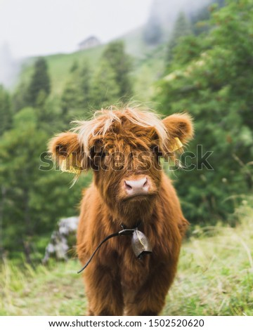 Happy cow in the swiss alps (on the hike up to the Rochers-de-Naye) #1502520620