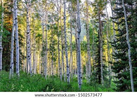 Aspen trees pattern in morning sunlight in summer on Snowmass Lake hike trail in Colorado in National Forest park mountains with green color #1502573477