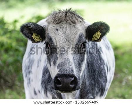 """Belgian Blue or """"Blanc-Bleu Belge"""" cow facing front  #1502669489"""