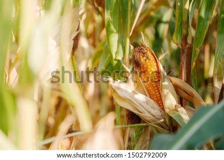 Close up and selected focus at ripe corncob on corn plant with blur background of agricultural field and golden sunlight in sunny day summer season. #1502792009