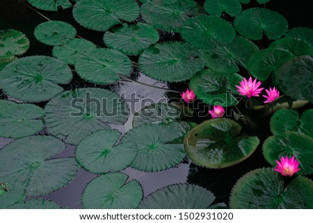 Picture of a pink lotus flower in the pool  Lotus leaf, round, dark green, beautiful