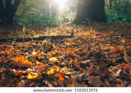 Autumn. Beautiful sunlight and fall yellow and brown leaves with acorns in grass on ground in sunny warm forest. Autumnal background. Oak tree leaf. Hello autumn #1503013976
