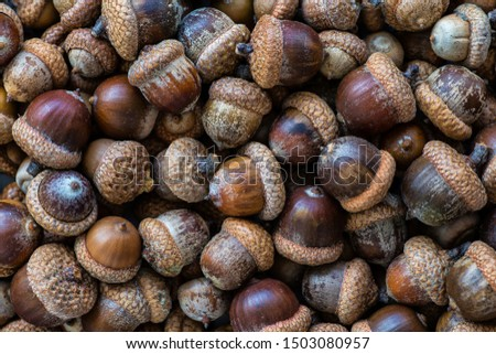 Background with autumn acorns and leaves closeup. Acorns macro. Oak acorns.Brown autumn acorns on the table. Autumn backdrop. #1503080957