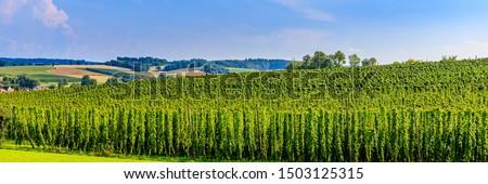 Hop field landscape in sunny day. Green fresh Hops plant growing in Hallertau, Holledau, Bavaria Countryside. German village in summertime , banner #1503125315