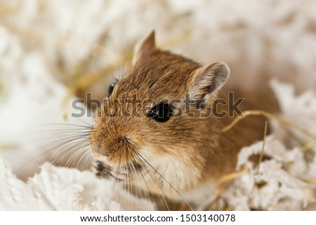 Mongolian gerbils (Meriones) as a pet