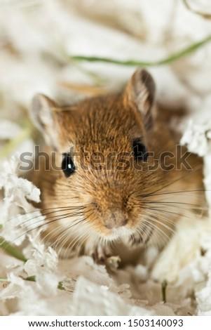 Mongolian gerbils (Meriones) as a pet