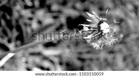 single withered dandelion with only a few flight seeds in black and White, #1503150059