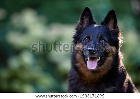 Portrait of hairy Bohemian shepherd dog, purebred, with typical black and brown color marks. Active dog with tongue out. Dog breed native to Czech republic. #1503171695