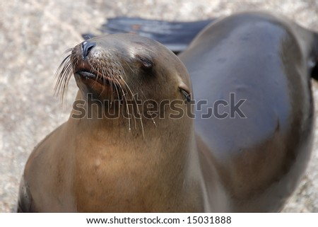 california sea lion off of a pier in monterey california #15031888