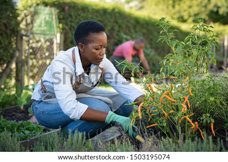 African american woman picking vegetables from garden. Mature woman working in vegetable garden. Black farmer taking care of plants and harvesting fresh vegetables from the greenhouse. #1503195074