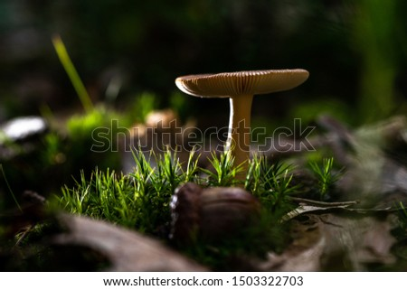wild forrest mushroom in the woods Holland in fall. Picture of the fungi with lovely bokeh was taken on a warm September day. Mushrooms on a stump covered with moss in autumn forest.