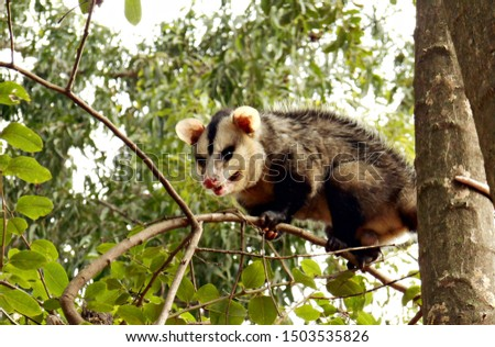 Snarling opossum looking down from a tree branch.
