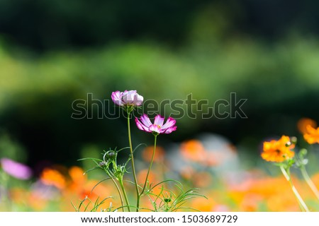 Colorfully blooming cosmos flower field #1503689729