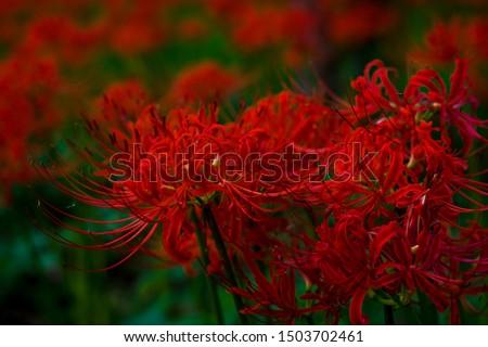Lycoris radiata / Red spider lily / Hurricane lily #1503702461