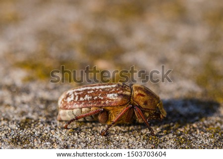 Anoxia orientalis is a genus of dung beetle in the family Scarabaeidae. #1503703604