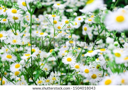 Glade with many small white daisies. Natural floral background #1504018043