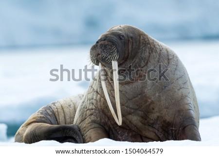 Closeup on Svalbard walrus with tusks #1504064579