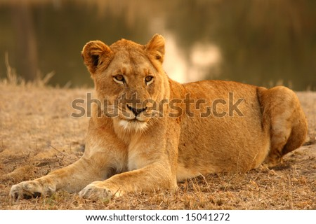 Lioness in Sabi Sands Reserve, South Africa #15041272