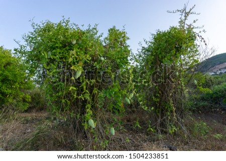 Picture of Araujia seriferea, invasive specie, colonizing two or #1504233851