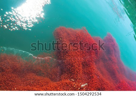 amazing too many lobster krill in the sea water New Zealand #1504292534