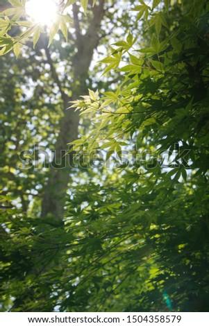 Acer palmatum,  also called red emperor maple, palmate maple, Japanese maple or smooth Japanese-maple #1504358579