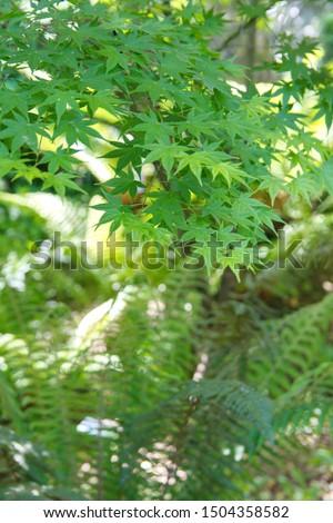 Acer palmatum,  also called red emperor maple, palmate maple, Japanese maple or smooth Japanese-maple #1504358582
