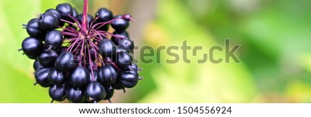 Acanthopanax Senticosus, also called Siberian Ginseng, Eleutherococcus senticosus berries are a widely used herb in traditional Chinese medicine. Panorama image with blurred background. Copy space. Royalty-Free Stock Photo #1504556924