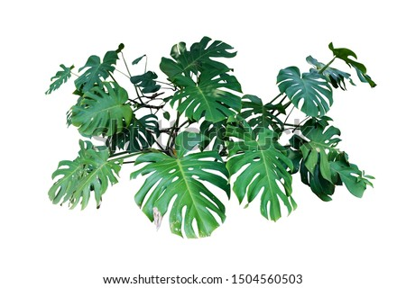 Tropical Monstera Splitleaf Philodendron nature plant isolated backdrop include clipping path on white background.closeup spring botanic decoration floral rain forest plant. #1504560503